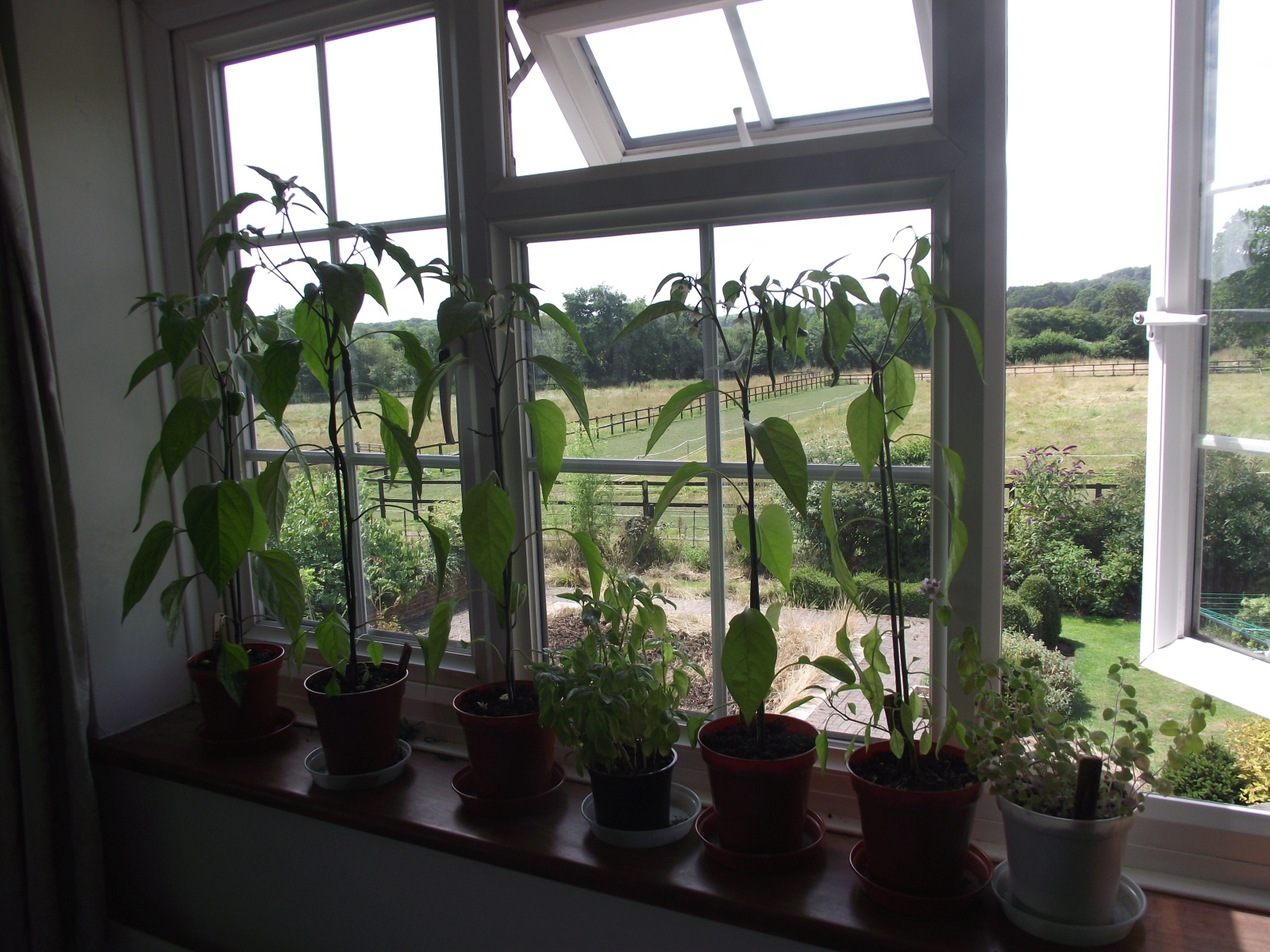 Collection of chilli plants